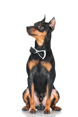 pincher dog in a bow tie