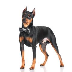 pincher dog standing