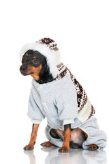 pincher dog in a hood