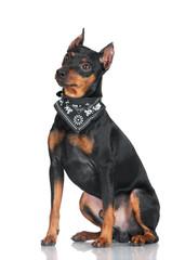 pincher dog in a bandana