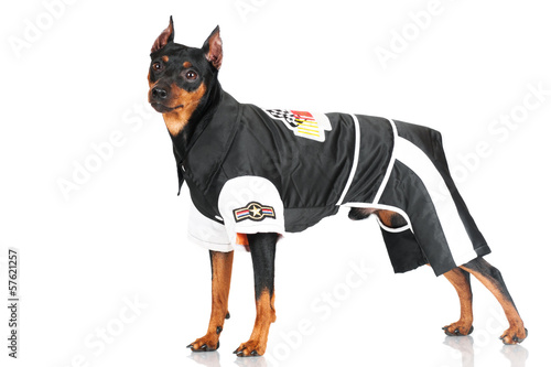 pincher dog in a biker costume