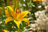 beautiful yello lily and white flowers