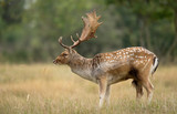 Fallow deer in the open field