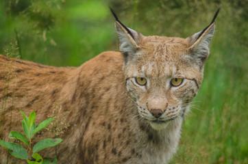 Lynx hunting