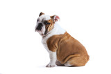 French bulldog - 57628250