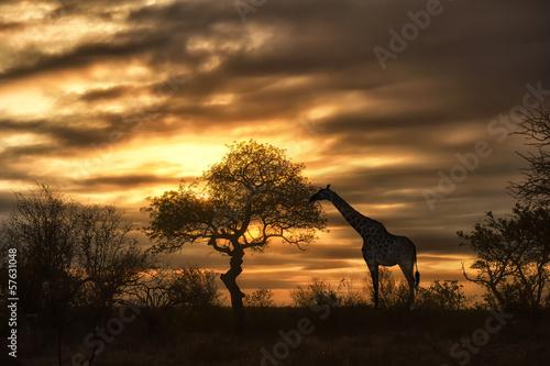 Staande foto Afrika african giraffe walking in sunset