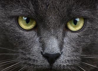Fototapeta szary kot