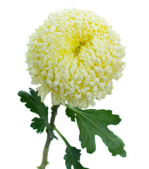 one chrysanthemum flower