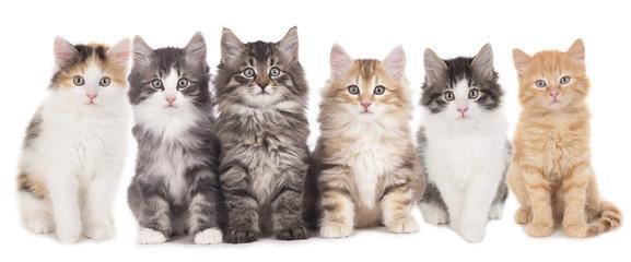 Sechs Kätzchen nebeneinander , Katzengruppe