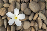 white frangipani on the rock