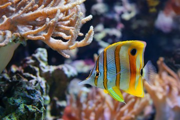 Copperband Butterflyfish (Chelmon rostratus), Coralfish