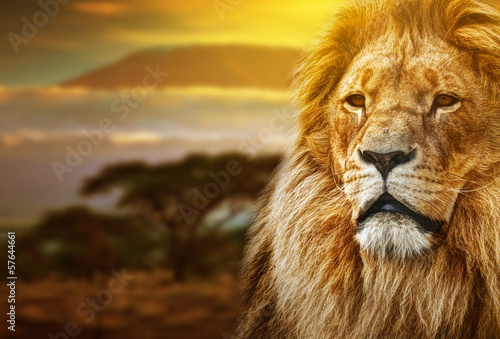 In de dag Afrika Lion portrait on savanna background and Mount Kilimanjaro