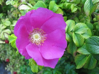 Magenta blooming wild rose flower