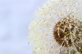 Dandelion seeds covered water drops - 57646433