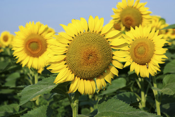 Yellow sunflowers in the summer