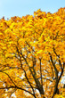 bright yellow trees in autumn forest