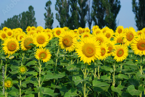 Sunflower field in the summer