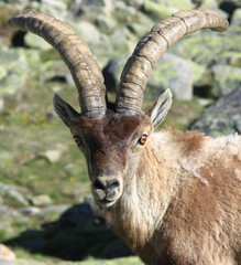 Standing alpine ibex, wild animal