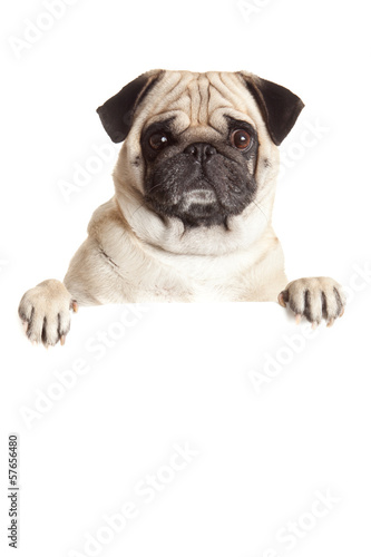 Pug Dog  with blank billboard.  Dog above banner or sign. Pug do