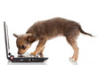 Portrait of a cute chihuahua dog in front of a laptop on white b