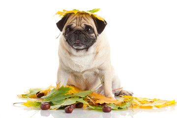 Pug Dog isolated on white background with autumn leaves
