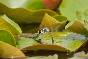 Grass Snake (Natrix natrix) hunting on the Water Lilies