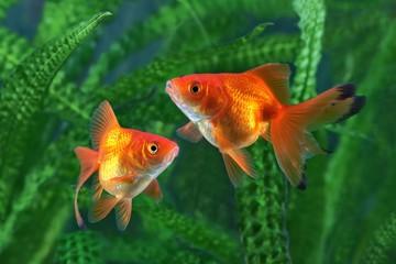 Goldfish, aquarium, a fish on the background