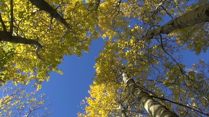 golden aspen tree in autumn forest and camera rotation