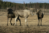 European moose, Alces alces machlis