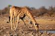 Giraffe drinking water, Etosha National Park