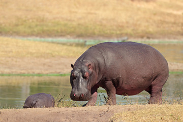 Hippopotamus on river bank