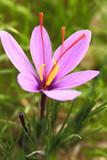 Saffron flower on the field