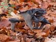 Herbsttrompete, Totentrompete