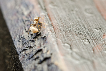 Small Brown Ant Worker Carry Food To The Colony