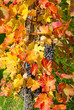 Colorful vine grape in autumn