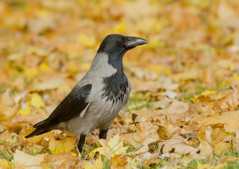 Hooded Crow in the autumn leaves