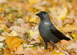 Jackdaw in the autumn leaves