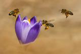 Honeybees (Apis mellifera), bees flying over the crocuses