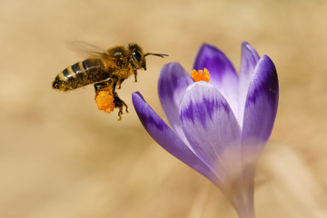 Honeybees (Apis mellifera), bees flying over the crocuses