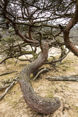 Sandy Pine forest