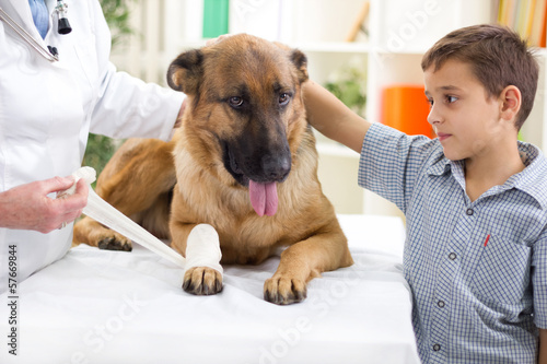 German Shepherd Dog getting bandage after injury on his leg by a