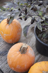 The pumpkins and a pot of ornamental black pepper