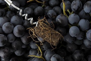 """ Le radici del vino "" "" The roots of wine """