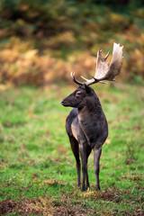 Black Fallow Deer