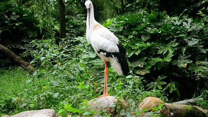 Oriental Stork (Ciconia boyciana)