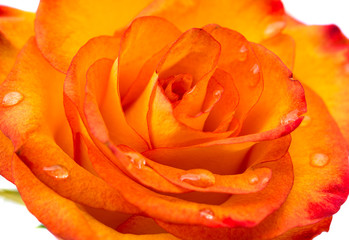 beautiful orange single rose bud isolated
