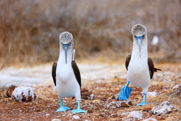 Blue footed booby mating dance