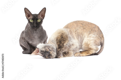black bald cat Sphinx