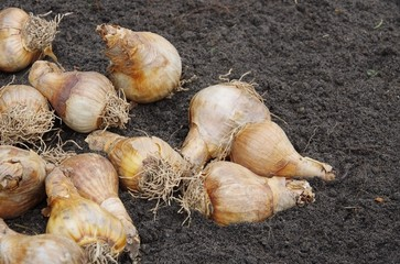 Zwiebel stecken - bulb planting 21