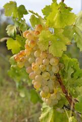 Grappolo d'uva bianca sulla vite